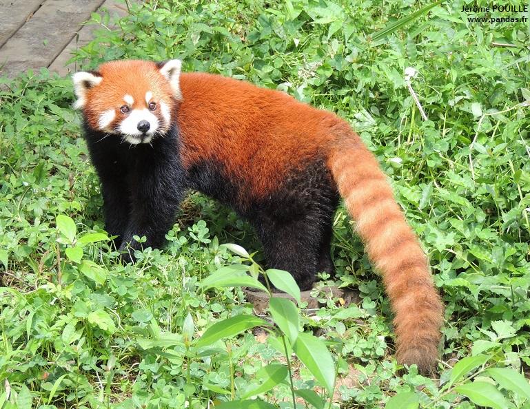 le panda roux un carnivore v u00e9g u00e9tarien oceanic logo ocean logos designs