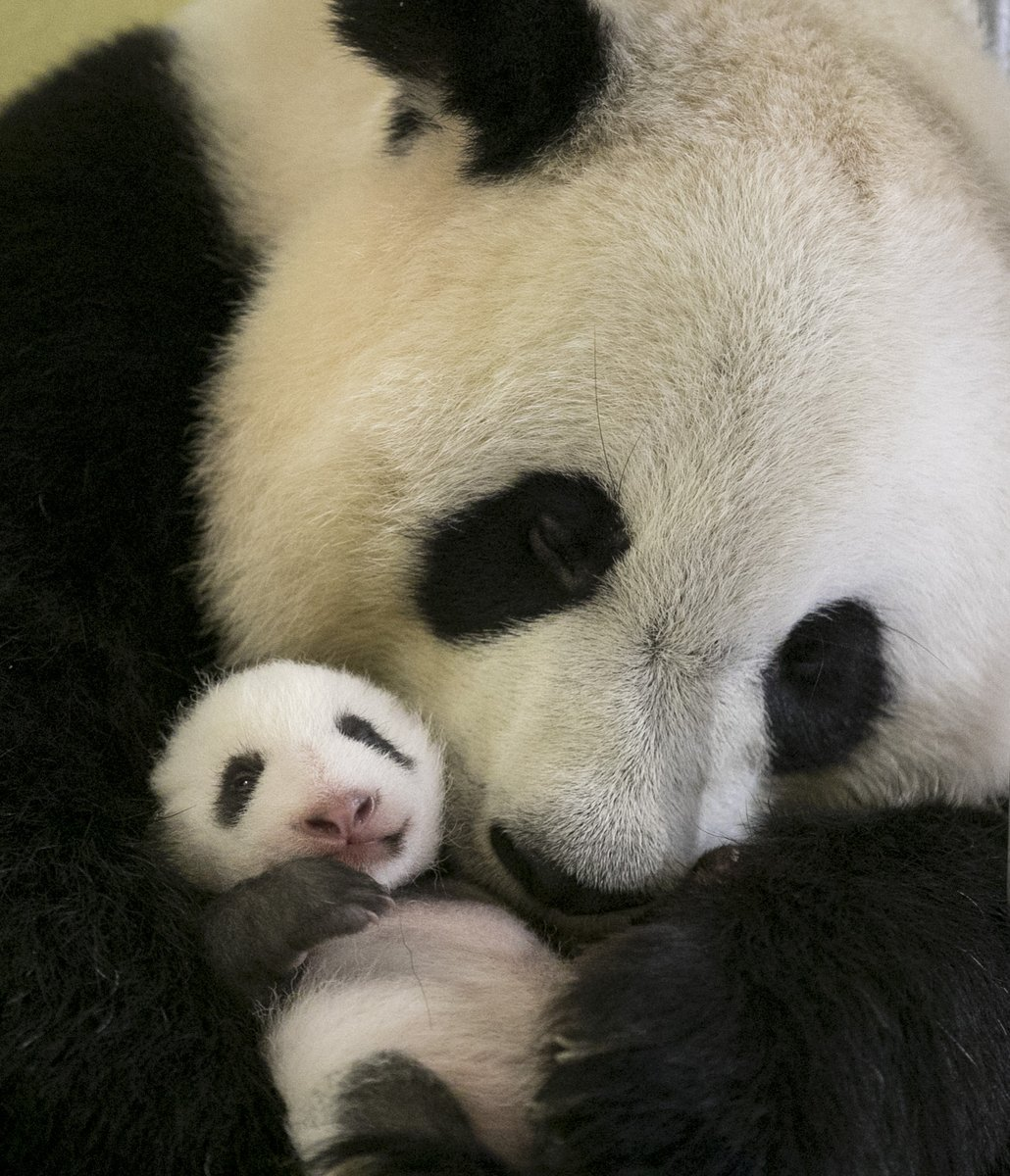 zoo de beauval mini yuan zi qui d passe les 2 kilogrammes a ouvert les yeux et f te. Black Bedroom Furniture Sets. Home Design Ideas