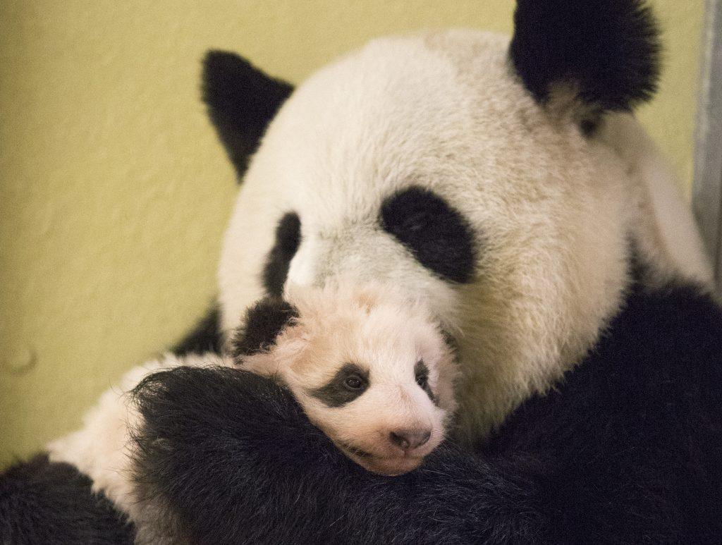mini yuan zi f te ses 3 mois aujourd 39 hui au zoo de beauval il a d pass les 5 kilogrammes. Black Bedroom Furniture Sets. Home Design Ideas