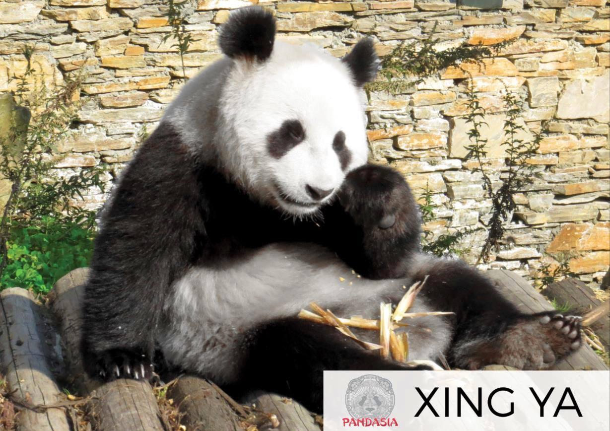le zoo d 39 ouwehand rhenen aux pays bas devrait prochainement recevoir deux pandas g ants. Black Bedroom Furniture Sets. Home Design Ideas