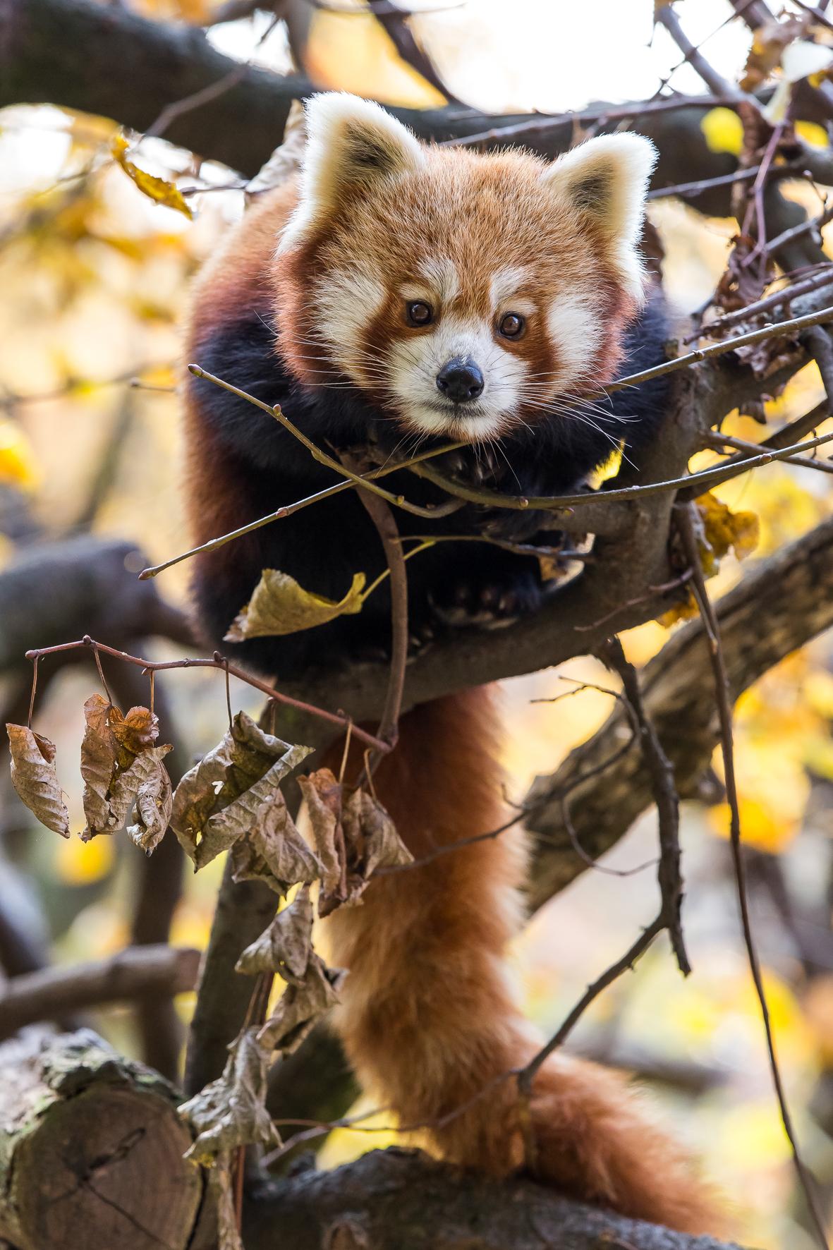 Bonnet Panda Roux