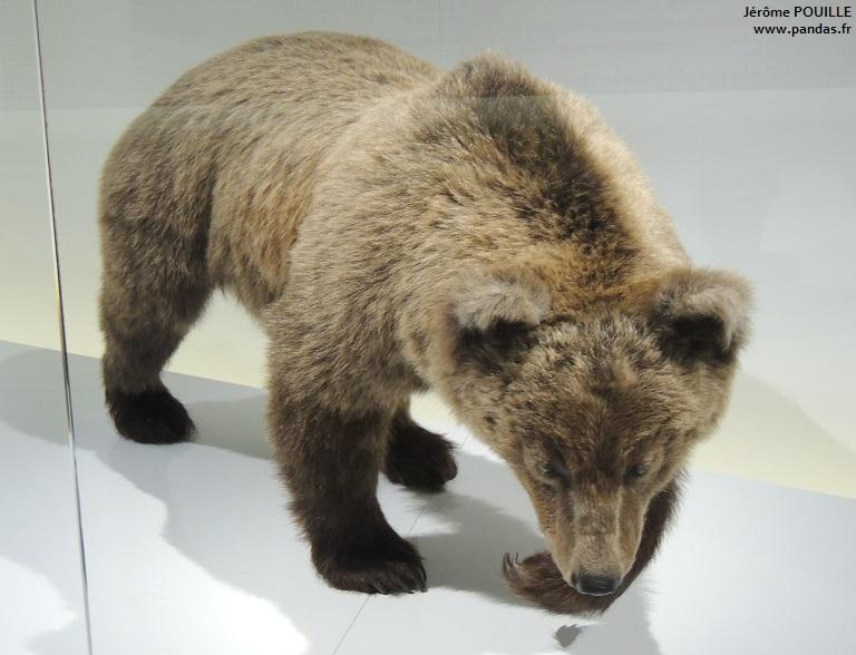 11 octobre 2013 inauguration hier de l 39 exposition sur les ours toulouse. Black Bedroom Furniture Sets. Home Design Ideas